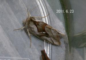 ギンモンシロウワバ2011.6.23
