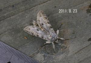 ハイイロセダカモクメ2011.8.23-