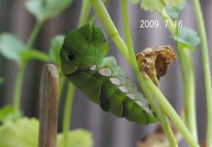 ナミアゲハ蛹化2009.7.16