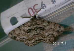 オオバナミガタエダシャク測定2011.7.2