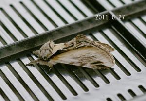 シロジマシャチホコ2011.6.27-3