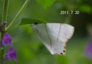 シロツバメエダシャクsp2011.7.30