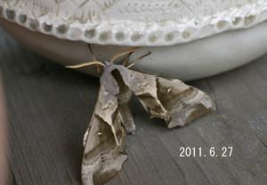 ウチスズメ2011.6.27