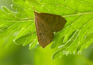 不明蛾2011.6.27-2