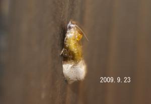 グミオオウスツマヒメハマキ2009.9.23-3