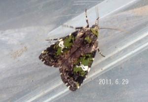 キクビヒメヨトウ2011.6.29-2