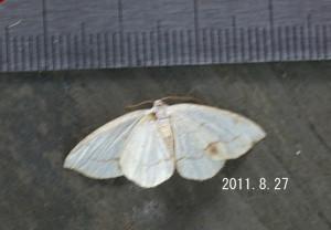 クロズウスキエダシャク2011.8.27