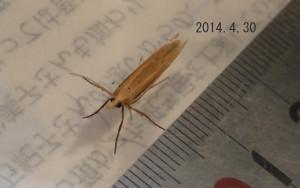 マユミオオクチブサガ2014.4