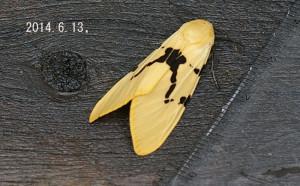 フタスジヒトリ2014.6.13
