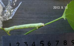 ヨモギエダシャク幼虫2013.9.10-2