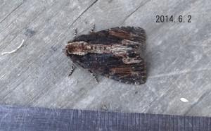 スジクロモクメヨトウ2014.6.2