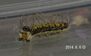 キアシドクガ幼虫2014.6.6