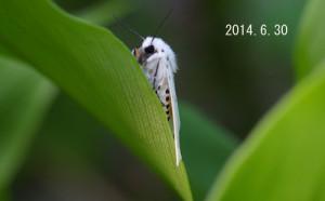 キハラゴマダラヒトリ2014.6.30-3