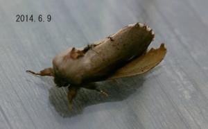 タテスジシャチホコ2014.6.9
