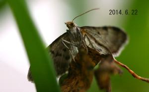 ウラモンアオナミシャク腹側2014.6.22
