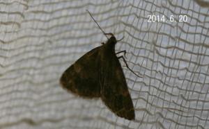 ヒロオビウスグロアツバ2014.6.20