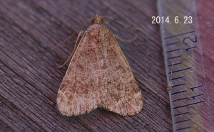 ヒロオビウスグロアツバ2014.6.23