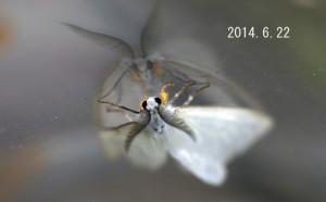 キアシドクガ♂2014.6.22