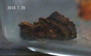 スジエグリシャチホコ2014.7.29