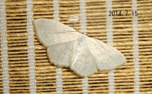 スミレシロヒメシャク北海道亜種2014.7.15-2