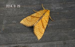 キイロトガリヨトウ2014.9.29