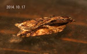 ヒカゲハマキ2014.10.17-2