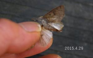 ヨモギキリガ下翅2015.4.29