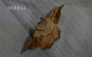 ツマキリエダシャク2015.5.11