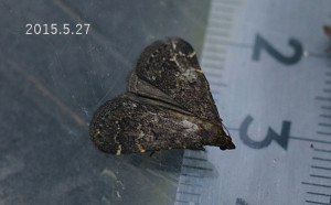 ヒロオビウスグロアツバ2015.5.27計測