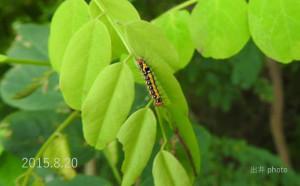 Dモンシロドクガ幼虫2015.8.20のコピー