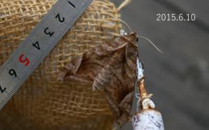 ハネナガブドウスズメ2015.6.10-2