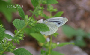 スジグロシロチョウ2015.7.18-2