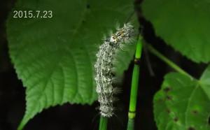 Dカシワマイマイ幼虫2015.7.23