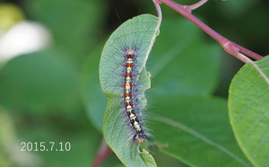 Dマイマイガ幼虫2015.7.10