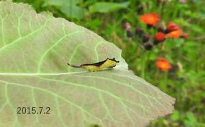 Dモクメシャチホコ幼虫2015.7.2