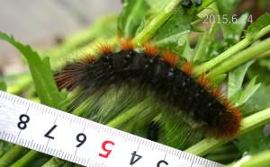 ヒトリガ幼虫2015.6.24