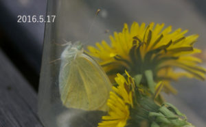 モンシロチョウ2016.5.17