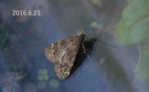ヒロオビウスグロアツバ2016.6.21