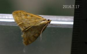 不明ノメイガOstrinia sp 2016.7.17