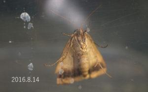クビグロクチバ腹側2016.8.14